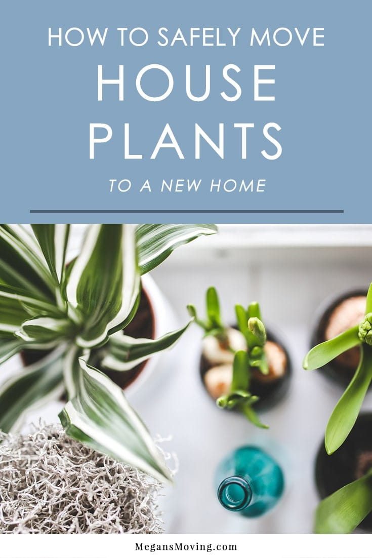 Moving can have a negative impact on houseplants, so it's important to handle them with great care during the process. Here are some tips to help them survive the move.